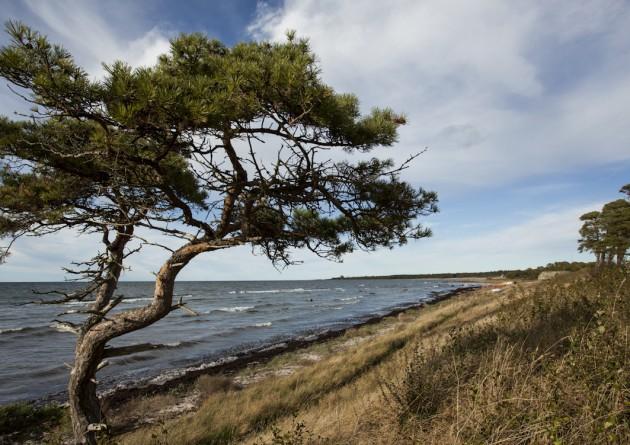 natur hav gotland strand tall västergarn